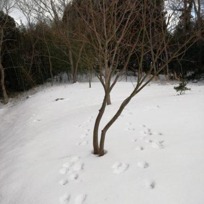 雪景色。雪に動物の足跡。