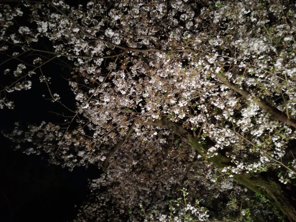 美術館の夜桜